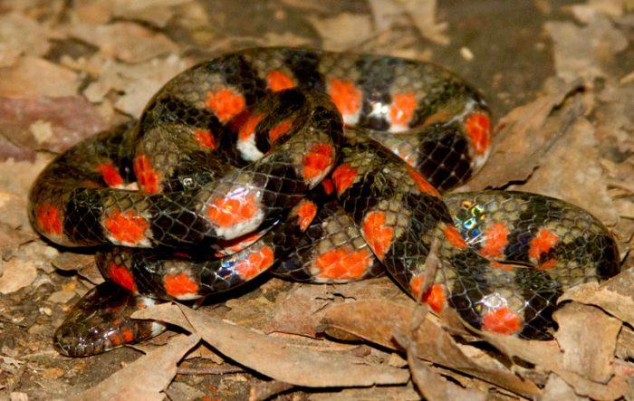 Hydrops_1-serpiente-madre-de-dios-sernanp-700x443.jpg