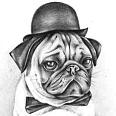 Elegant Pug